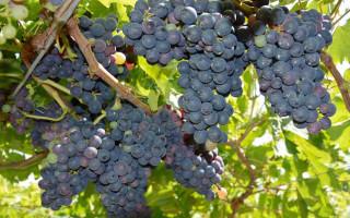 Монтепульчано сорт винограда