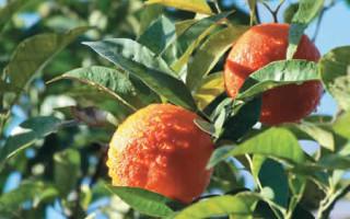 Красный апельсин сок