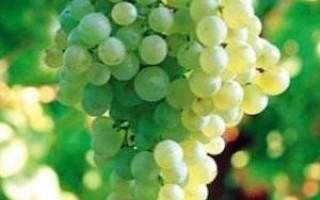 Как раньше назывался сорт белого вина глера